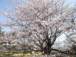 【桜・見頃】佐倉城址公園