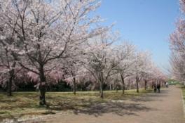 【桜・見頃】高尾さくら公園