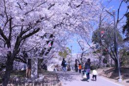 【桜・見頃】早島公園