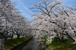 【桜・見頃】大口町 五条川の桜並木