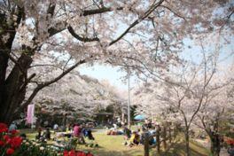 【桜・見頃】亀池公園