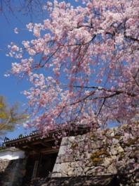 【桜・見頃】三千院門跡