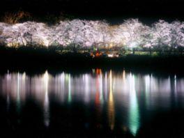 【桜・見頃】水源公園