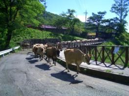 ジャージー牛が列を成して行進するさまは見もの