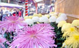 県下最大の菊の祭典
