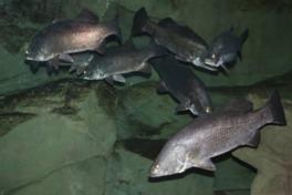 四万十川産の魚はほとんど全てスタッフ自らの手で収集してきたもの
