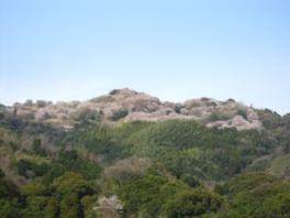 【桜・見ごろ】100周年記念塔千本桜