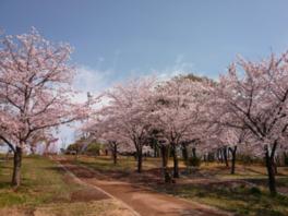 【桜・見頃】都立狭山公園