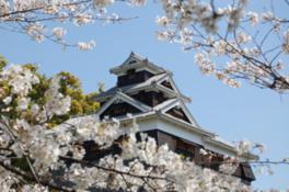 【桜・見頃】熊本城
