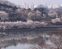 【桜・見頃】高松公園