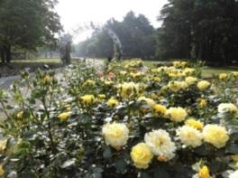 代々木公園バラのお手入れ講習会