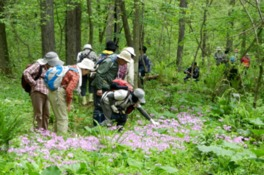 毎年5月上旬頃から咲き始めるサクラソウ。かつては身近な野草だった