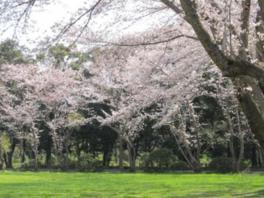 【桜・見頃】秋ヶ瀬公園