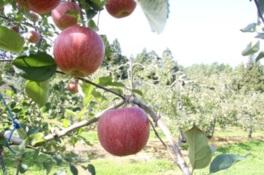 南郷観光農園 りんご狩り体験