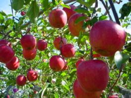 沼田市 観光りんご園 オープン