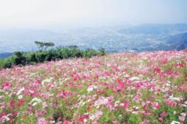 【花・見ごろ】鷲ヶ峰コスモスパークの秋桜