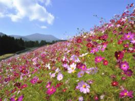 生駒高原コスモスまつり