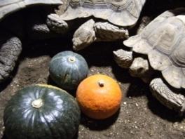 ハロウィンシーズン企画 かぼちゃ割