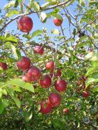 中里レジャー農園 果樹狩り(りんご)