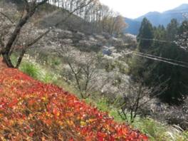 冬桜と紅葉が楽しめる貴重なスポットだ