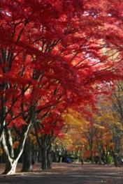 美しく色づいたカエデ並木