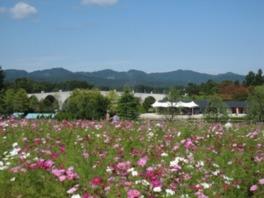 30万本のコスモスが花の丘を彩る!