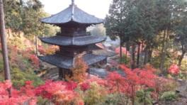 紅葉の境内、7種350本のモミジが色づく