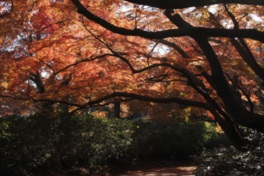イロハモミジの真紅のトンネル