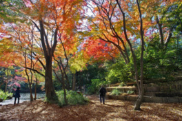 記念庭園のイロハモミジの紅葉