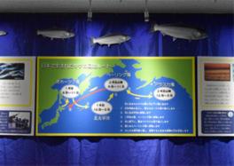 秋の特別展「サケの大冒険 ~4年におよぶ大回遊~」