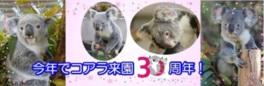 コアラ来園30周年記念イベント
