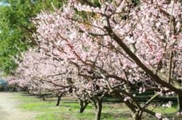 梅の花咲く 鏡神社 梅苑