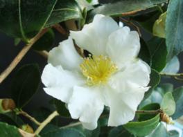くらしの植物苑特別企画「冬の華・サザンカ」