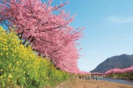 第27回河津桜まつり