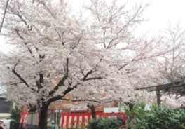 どこに連れて行かれるか分からない桜ミステリーツアー!前編 京都プロガイドが最も旬な桜を案内します!