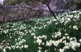 【花・見ごろ】四国村の水仙