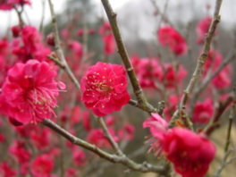 【花・見ごろ】国営武蔵丘陵森林公園の梅