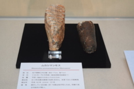 トピック展示 東北地方初「ムカシマンモス化石」