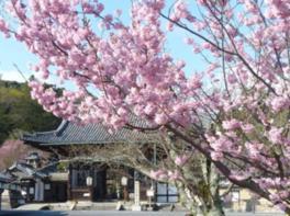 【桜・見ごろ】石山寺