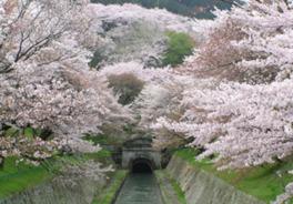 【桜・見ごろ】琵琶湖疏水