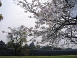 【桜・見ごろ】熊本城