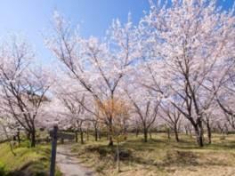 第18回日南市花立公園さくらまつり