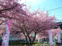 第15回三浦海岸桜まつり