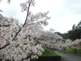【桜・見ごろ】銚子ダム公園