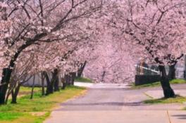 【桜・見ごろ】松島千本桜