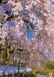 【桜・見ごろ】明王寺のしだれ桜