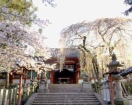 【桜・見ごろ】氷室神社