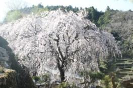 【桜・見ごろ】市川家のしだれ桜
