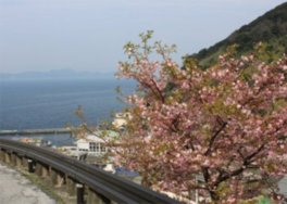 【桜・見ごろ】四浦半島の河津桜