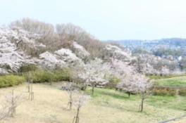 【桜・見ごろ】狭山湖周辺